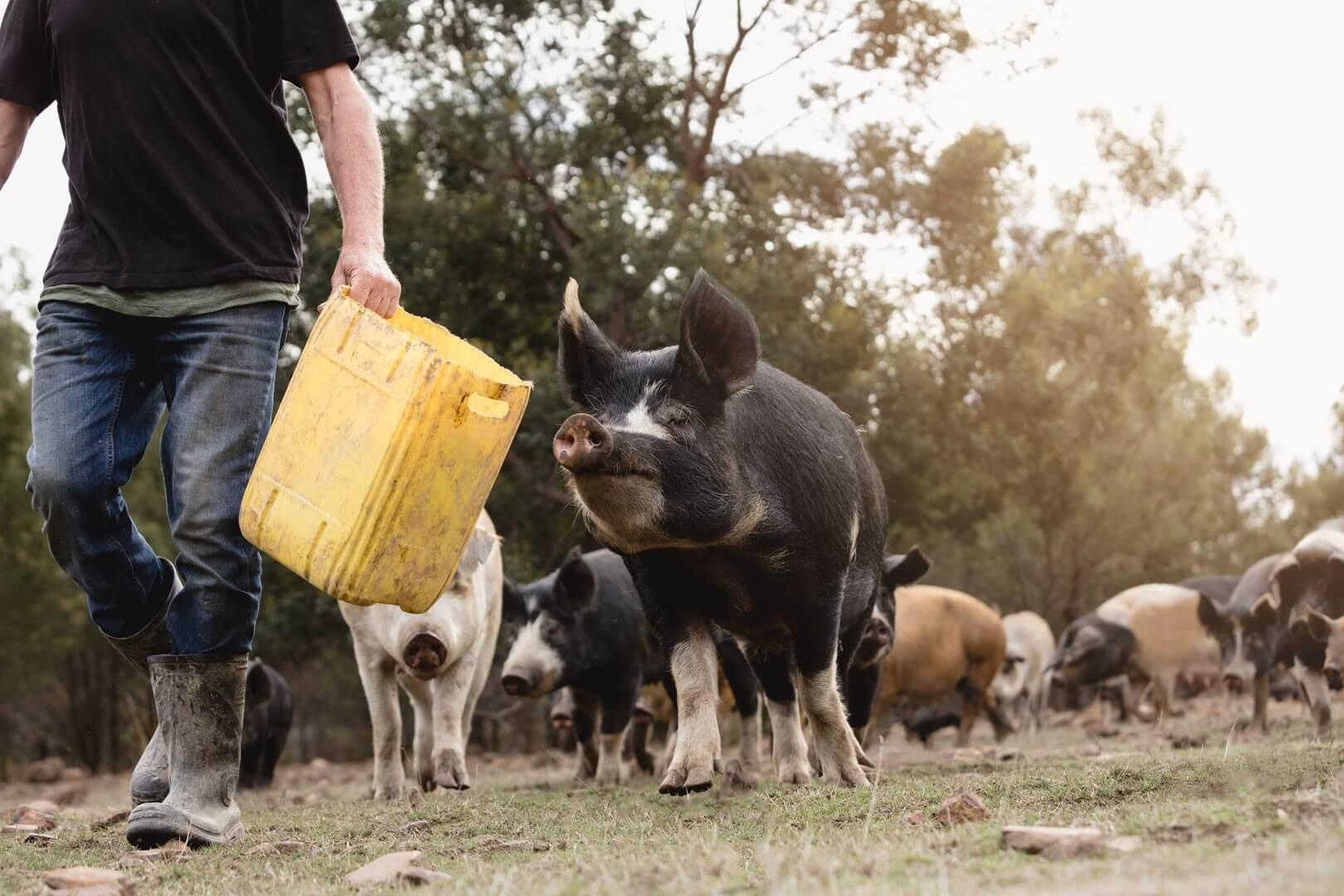 tasmanian-pork-long-name-farm-free-range-heritage-pork-pig-farm-hobart-tasmania